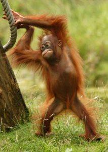 Baby-orangutan